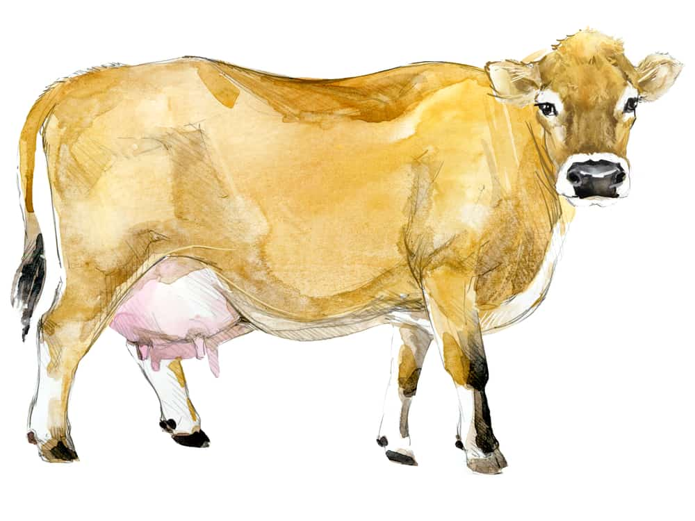 jersey-dairy-cow-homestead-cattle