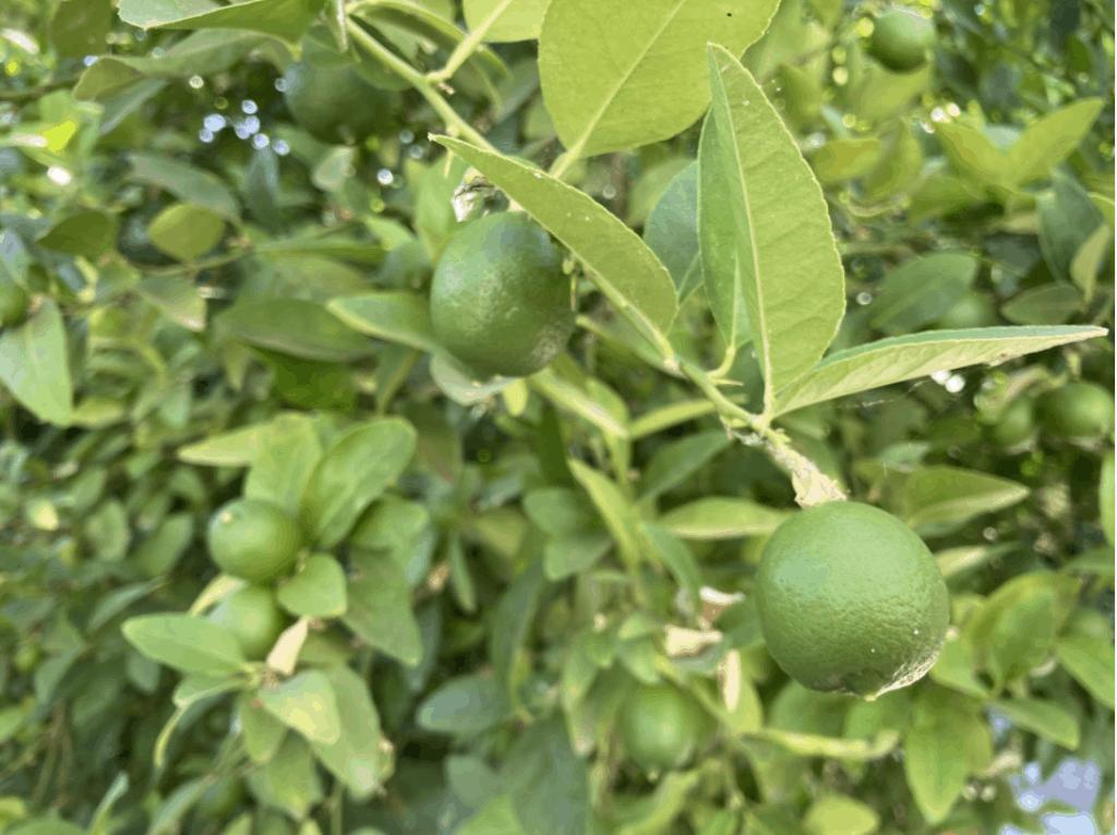 key-lime