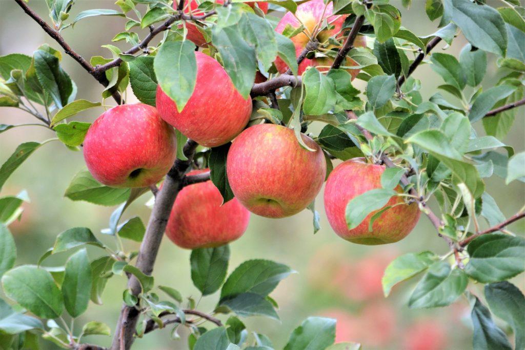 Honeycrisp-apple-tree