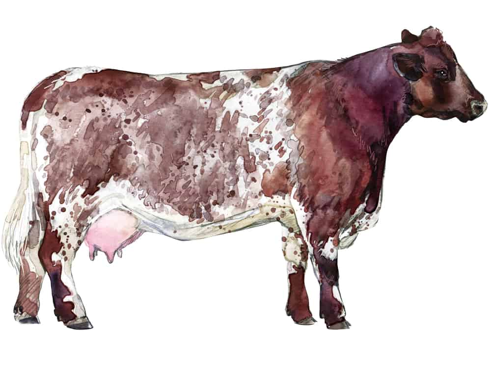 milking-shorthorn-dairy-cow-homestead