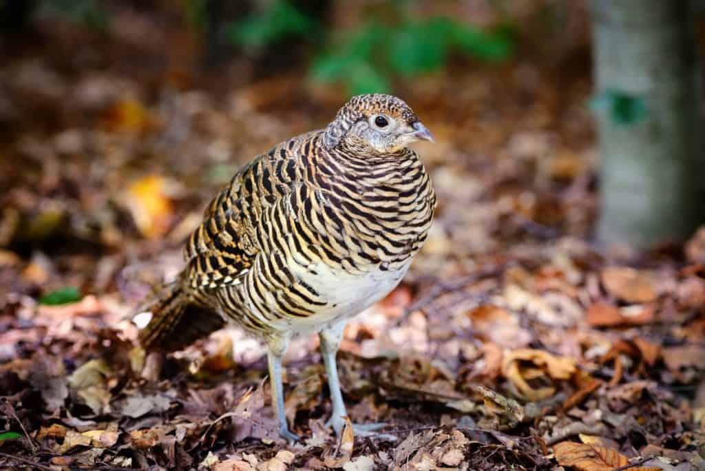 quail-bird-that-eats-ticks