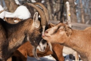 7 Dairy Goat Breeds That Make the Best Homestead Milking Goat