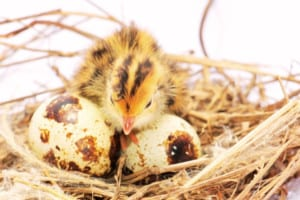 baby quail chick with eggs