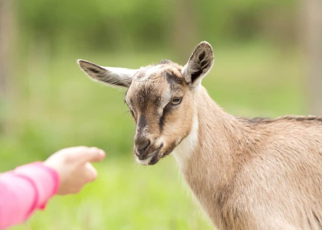 best dairy goat breeds alpine