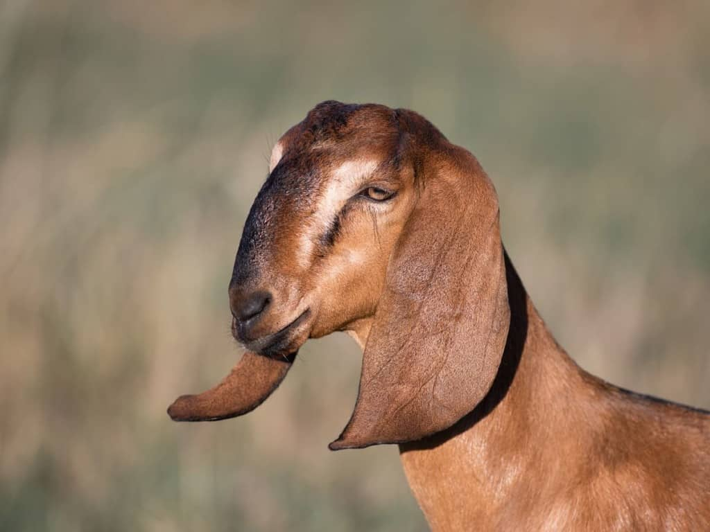 best dairy goat breeds anglo nubian