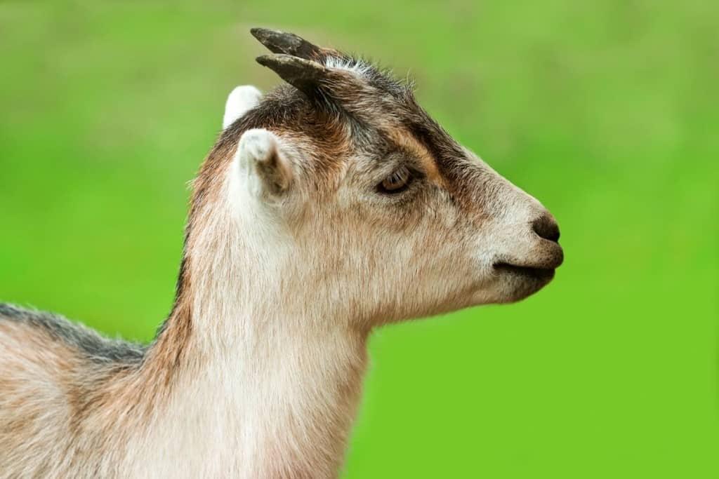 best dairy goat breeds lamancha