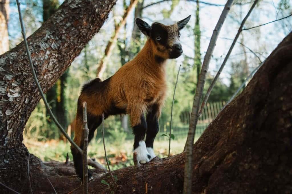 best dairy goat breeds nigerian dwarf