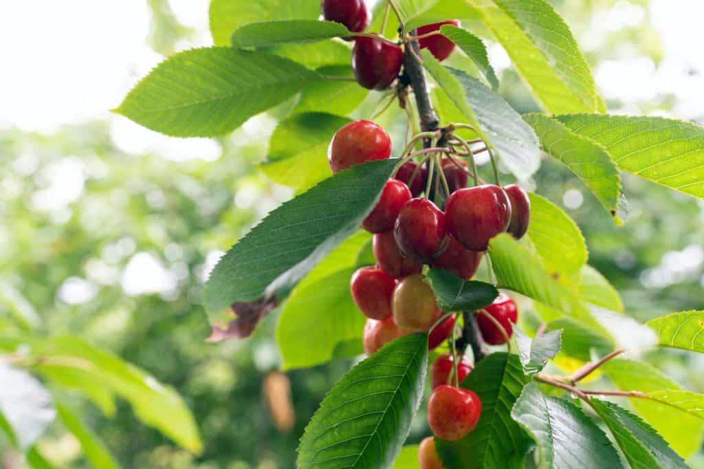 montmorency-cherry-for-zone-4-fruit-tree