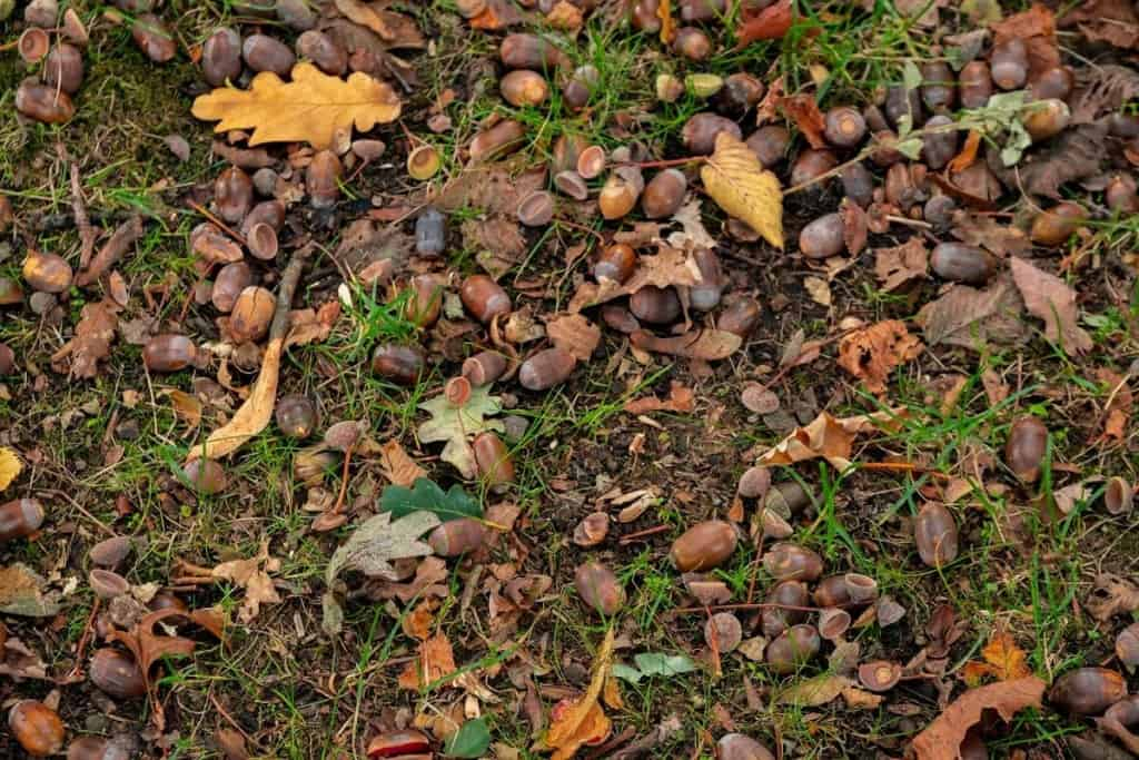 dry leaves branches and acorns