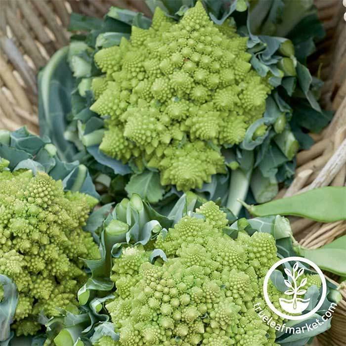 Cauliflower seeds - Veronica Romanesco Hybrid