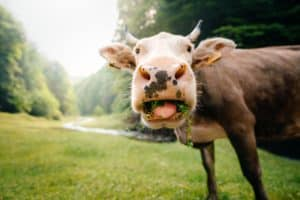 275+ Cute and Funny Cow Names From Moodonna to Donald Rump