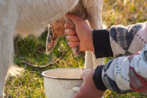 Here's How Often You Have to Milk a Goat [Once vs Twice a Day]