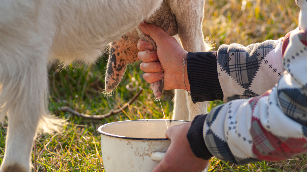 hand milking a goat in the paddock