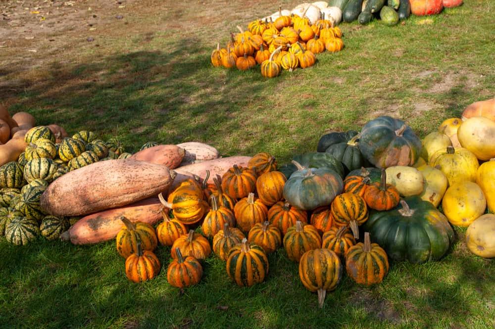 pink banana squash and variety of pumpkins and squashes on lawn